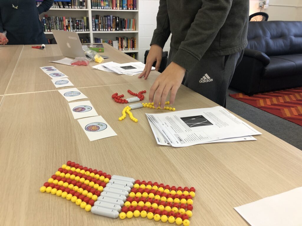A photo shows a series of cards on a table depicting the stages of mitosis, accompanied by bead models of chromosomes